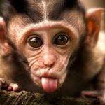 Szemtelen majom
