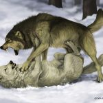 A farkasok
